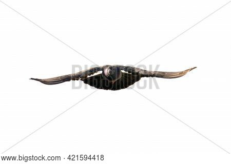 Movement Scene Of Rock Pigeon Flying In The Air Isolated On Clear Sky