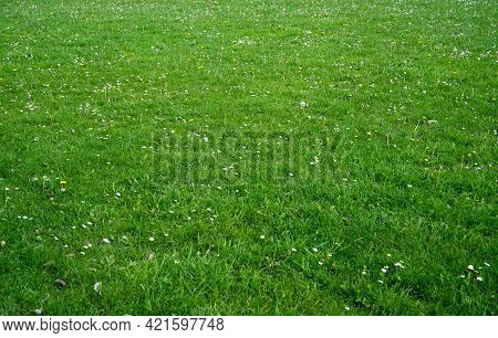 Grass Fields With White Daisy Flowers, Meadow With Wild Flowers, Nature Fresh Lawn Carpet Background