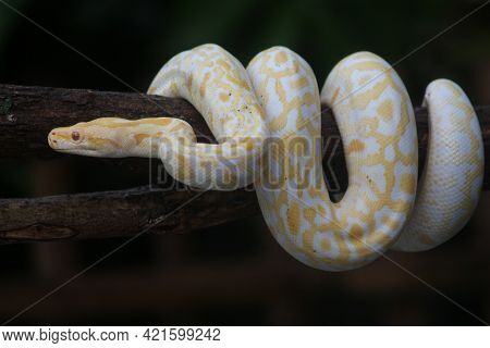 The Body Of The Snake Coiled On The Trunk