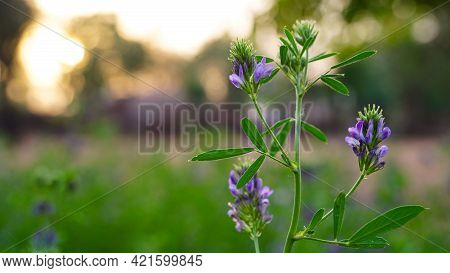 Evening Shot, Alfalfa Is The Most Cultivated Forage Legume In The World And Has Been Used As An Herb