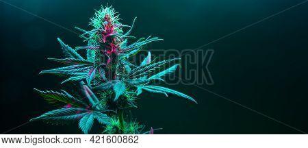 Cannabis Fowering Plant On Dark Green Background. Long Horizontal Banner With Marijuana Hemp In Colo