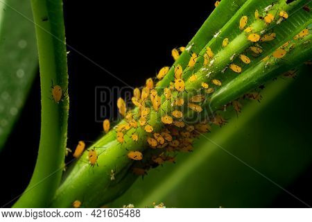 The Oleander Aphid Also Known As Milkweed Aphid On The Plant And Sucking Cell Sap. These Are Bright