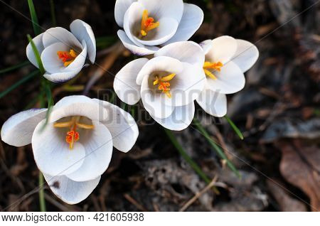 Close-up Of A Group Of Crocus Blossoms With White Petals And Yellow Stamens And Pistils
