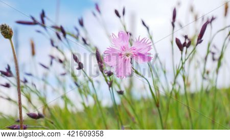 An image of a wild pink carnation flower