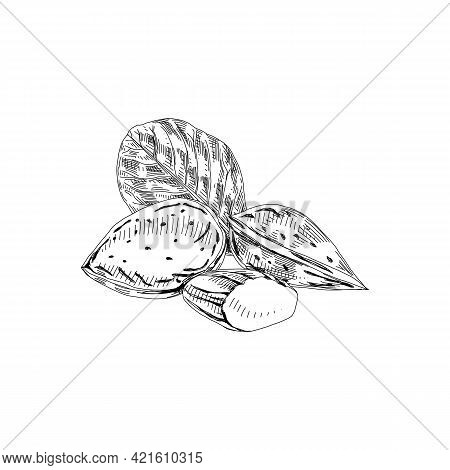 Almond In Shell, Kernel And Leaf, Retro Hand Drawn Vector Illustration.