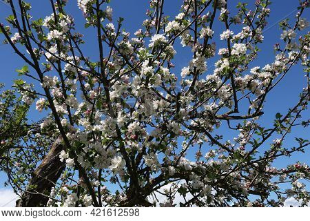 Flowers Of The Fruit Trees On A Spring Day