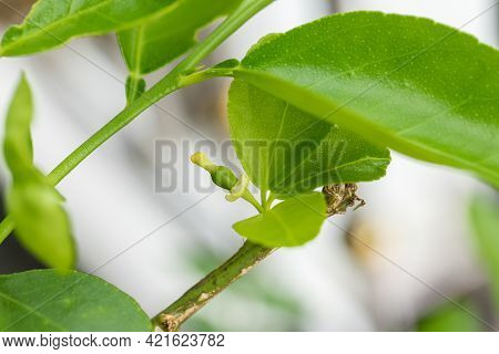 Closeup Of Young Lime Growing In Plant. Small Green Unripe Fruits Of  Plants  Lime. Young Lime Plant