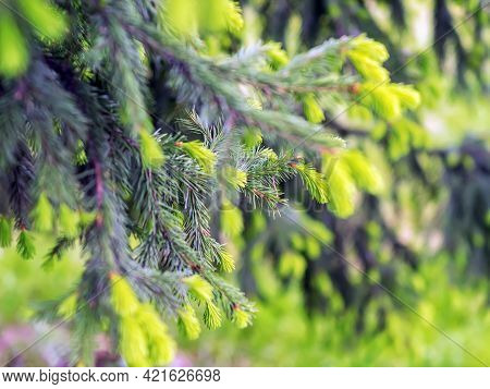 Branches Of Spruce In Spring. Fresh Light Green Spring Fir Branches.