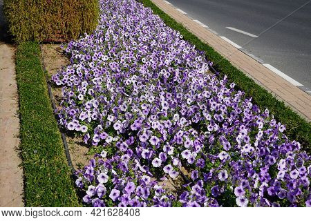 Crocus Field, Spring In Countryside, Roadside Covered With Flowers, White And Purple Crocuses In Blo