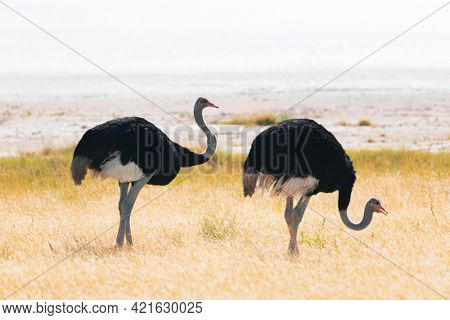 Ostrich couple standing on dry yellow grass of the African savannah