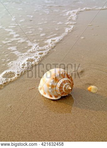 Closeup A Natural Scotch Bonnet Sea Shell Isolated On Wet Sand Beach In The Sunlight