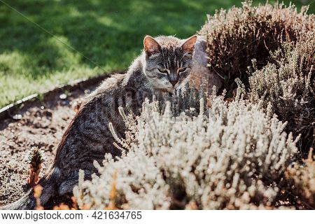 House Cat On Lawn In Bushes On The Hunt, Favorite Pet