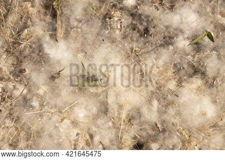 Summer Allergies Poplar Pollen Duvets Summer Allergies Poplar Pollen Duvets