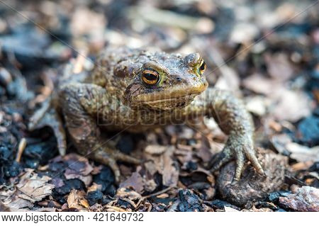 A Frog In The Woods. Forest Toad. Amphibian Jumping Through The Woods. The Toad Moves To The Lake.