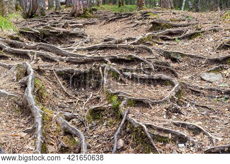 Intertwining Twisting Roots Of Pine Trees In The Coniferous Forest In Springtime. Visible Tree Roots