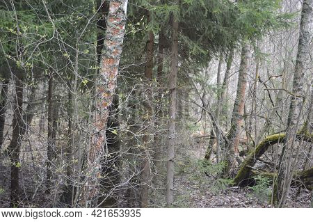 Russia, Vladimir Region, Thickets Of Pine Forest