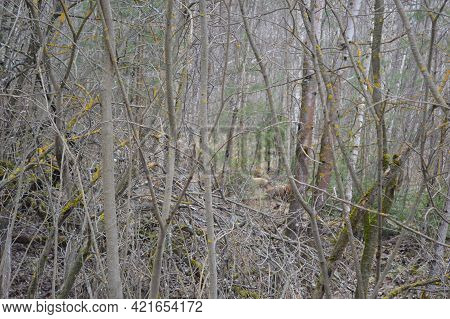 Russia, Vladimir Region, Thickets And Trees Of Mixed Forest