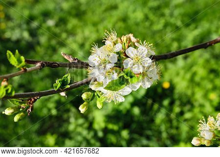 Apple Bud In Spring Against The Background Of Green Foliage. White Apple Blossom In The Daytime. Flo