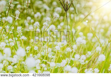 Grass Flower  Blowing In The Wind In The Morning With Golden Sunshine. Flower Field In Rural. Orange