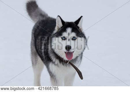 Cute Siberian Husky Puppy With Blue Eyes Is Looking At The Camera In The Winter Park. Sled Dog. Pet