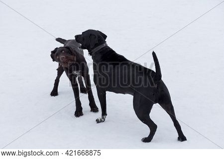 Italian Mastiff Puppy And Deutsch Drahthaar Are Playing In The Winter Park. Pet Animals. Purebred Do