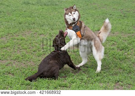 Red And White Siberian Husky And Labrador Retriever Puppy Are Playing On A Green Grass In The Summer