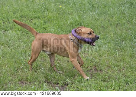 Cute American Pit Bull Terrier Puppy Is Running With Dog Ring On A Green Grass In The Summer Park. P