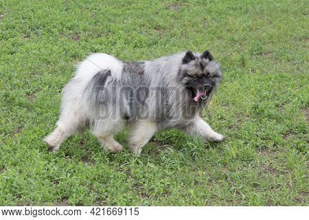 German Spitz Is Running On A Green Grass In The Summer Park. Keeshond Or Deutscher Wolfspitz. Pet An