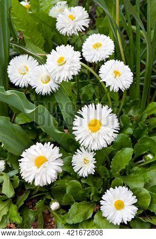 White Marguerite Flowers On Flowerbed In Garden