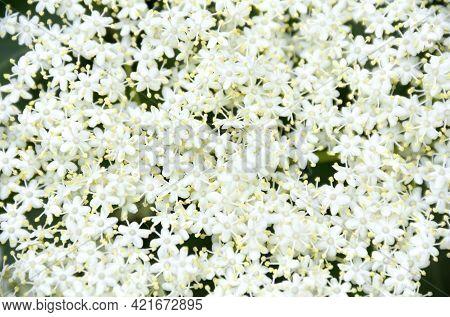Blooming Elderflower ( Sambucus ). Common Names: Elder, Elderberry, Black Elder, European Elder, Eur