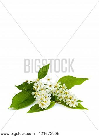 White Flowers Of Bird Cherry Tree ( Prunus Padus ) On White Background With Space For Text