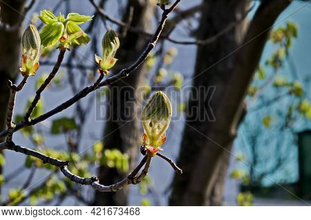 Twig With Unopened Flower Bud And Young Hairy Green Leaves Of The Tree Horse Chestnut In Spring, Sof