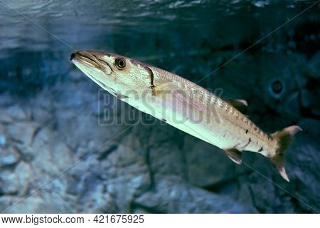 Great Barracuda Is Large, Predator Ray-finned Fish Found In Subtropical Oceans Around World.