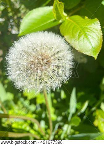 Dandelion Of The Family Taraxacum Officinale Close-up. Dandelion Air. Dandelion Officinalis