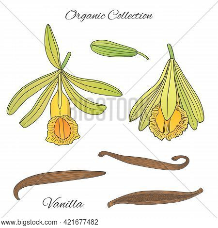 Vector Graphic Illustration With Vanilla Tropical Plant-02