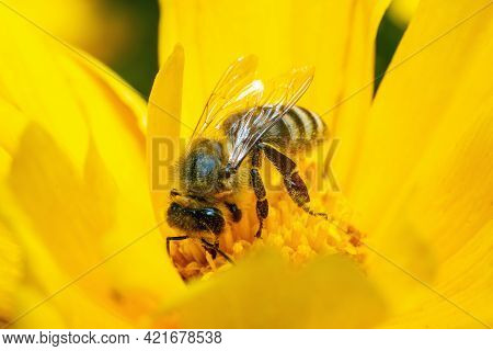 A Bee Covered With Pollen Collects Nectar Pollinating A Yellow Flower.