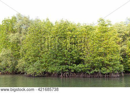 Rhizophora Apiculata Blume Forest