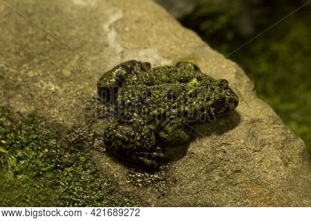 The Yellow-bellied toad (Bombina variegata) in zoo.