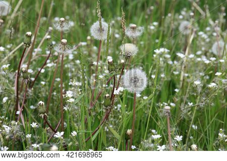 White Dandelion With Green Background. Nature Green Background. Dandelion. Beautiful Dandelion Flowe