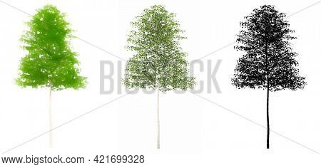 Set collection of European Aspen trees, painted, natural and as a black silhouette on white background. Concept or conceptual 3d illustration for nature, ecology and conservation, strength, endurance