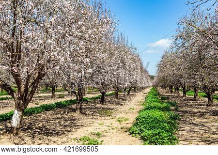 Early spring in Israel. Picturesque alley of flowering almond trees. Warm sunny february day. Grove of almond trees in spring bloom. February