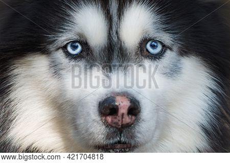 Husky Portrait Of A Dog Husky Breed On A Background Of Nature.siberian Husky Black And White Colour,
