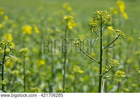 Rapeseed. Brassica Napus. Are Blooming In Sunny Summer Day. Yellow Flower, Isolated On Blurred Natur