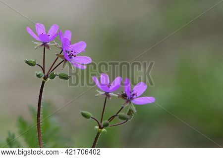 Beautiful Purple Wild Forest Flowers. Two Flowers. Geranium Robertianum, Or Herb-robert, Red Robin,