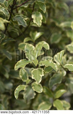 Variegated Kohuhu Silver Queen Leaves - Latin Name - Pittosporum Tenuifolium Silver Queen