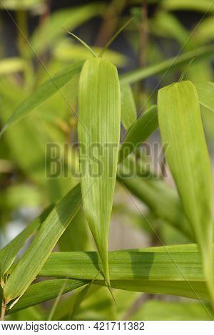 Umbrella Bamboo Asian Wonder Leaves - Latin Name - Fargesia Robusta Asian Wonder (fargesia Scabrida)