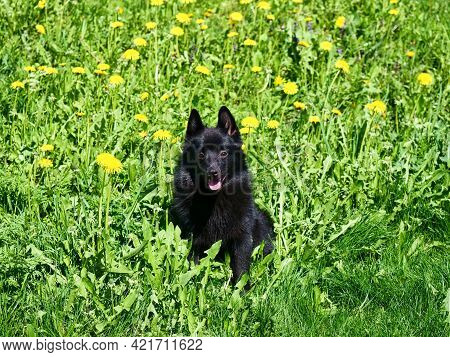 Adorable Belgian Shepherd Schipperke Sits Among Yellow Dandelions. Bright Sunny Day