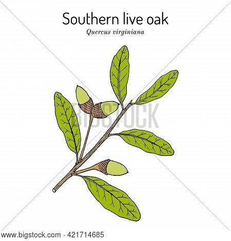Southern Live Oak Quercus Virginiana , State Tree Of Georgia. Hand Drawn Botanical Vector Illustrati