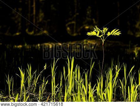 Nature Background With Grass And Outstanding Tall Plant With Leaves, Illuminating From Daylight. Cop