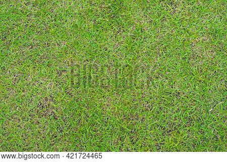 Green Grass Texture. Green Lawn Yard Texture Background. Close-up.